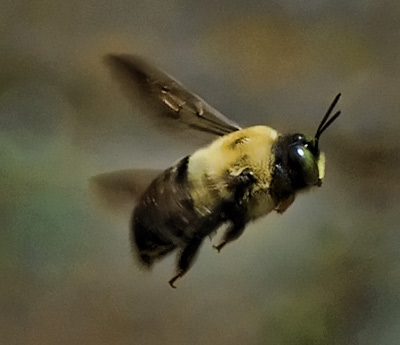 Flight of the Carpenter Bee