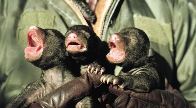 wikipedia black bear cubs