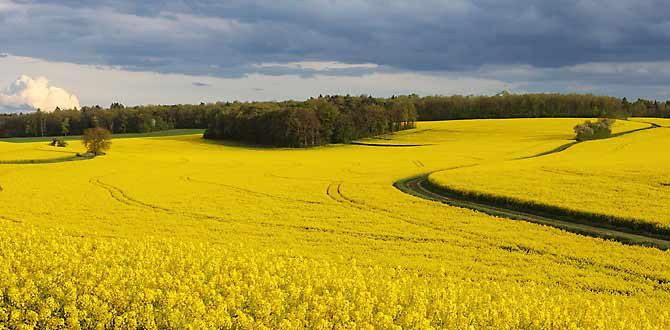 Canola: Rapeseed Oil By Any Other Name